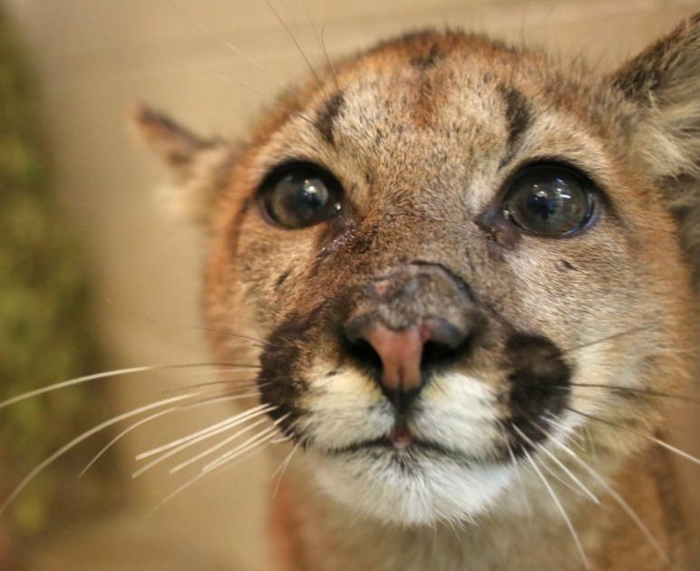 Worcester's EcoTarium to Open One of Largest Mountain Lion Exhibits in U.S.