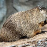 WATCH: 'Maple' the Woodchuck Gets Workout in at EcoTarium